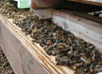 Dead Bees around hive
